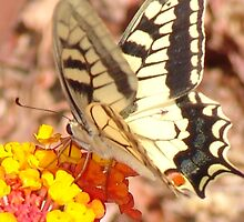 Glorious Swallowtail Butterfly by Francis Drake