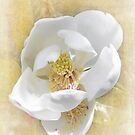 Sweet Southern Magnolia by designingjudy