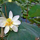 The Lotus by Nira Dabush