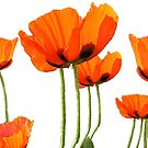 Poppies! by LindaLou1952