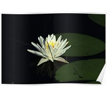 White Water Lily in a Lake Poster