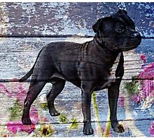 Staffy old painted wood  Photographic Print