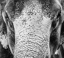 Close-up shot of Asian elephant head by Stanciuc