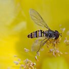 Resting Hoverfly by SteveHphotos
