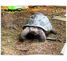 Galapagos Giant Tortoises Poster