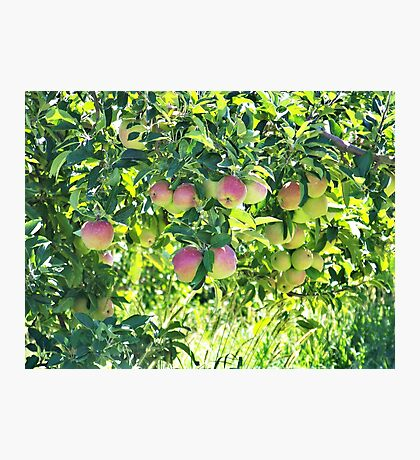 Apples On The Tree Photographic Print