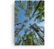 Looking up at the Cypress Trees Canvas Print