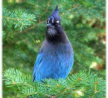 Stellar's Jay In The Pines by Shea Oliver