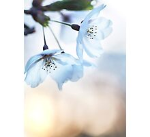 Artistic closeup of cherry blossom art photo print Photographic Print
