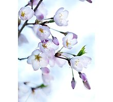 Sakura Japanese cherry blossom art photo print Photographic Print