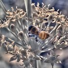 Honey bee on chive flower, hand coloured IR by BigAndRed