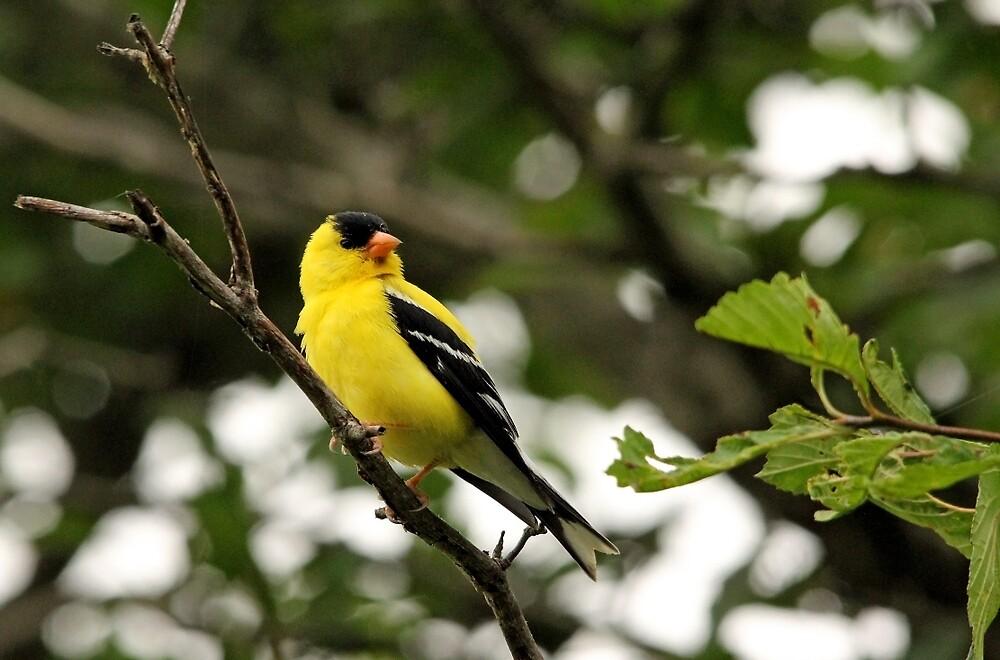 Brilliant Observer Goldfinch by Debbie Oppermann