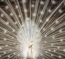 Rare White Peacock by larrymarshall