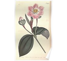 The Botanical magazine, or, Flower garden displayed by William Curtis V13 V14 1799 1800 0042 Blakea Trinervia Three Ribbed Blakea Poster