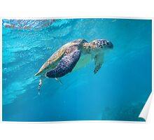 Turtle Diving, Western Australia Poster