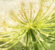 Daucus carota - Queen Anne's Lace - Wildflower by MotherNature2