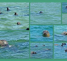 Gray Seals at Chatham - Cape Cod by MotherNature