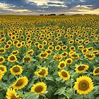 Sunflower Field Panorama - Texas Wildflower Images by RobGreebonPhoto