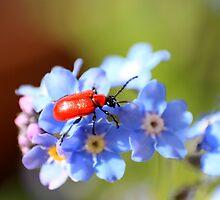 Gardeners beware of this beautiful beetle by missmoneypenny