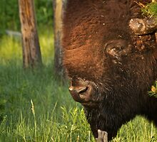 Bored Bison by Trent Sizemore