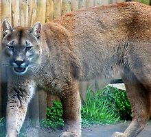 Cool cougar by missmoneypenny