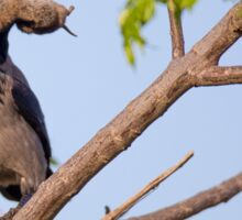 Hooded crow (Corvus cornix) with a mouse Sticker