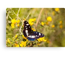 Southern White Admiral butterfly (Limenitis reducta) Canvas Print
