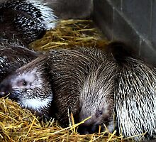 A prickle of porcupines by missmoneypenny