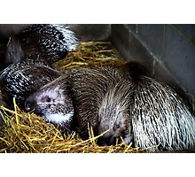 A prickle of porcupines Photographic Print