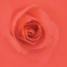 Peachy Orange Rose by Melissa Park