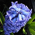 Blue Hyacinth Beauty by BlueMoonRose
