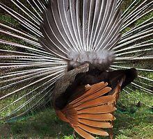 Peacock by Bluesrose