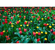 Tulips @ Keukenhof Photographic Print