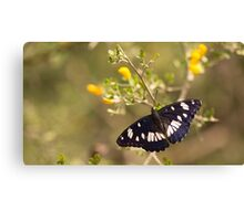 Southern White Admiral butterfly (Limenitis reducta).  Canvas Print
