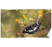 Southern White Admiral butterfly (Limenitis reducta).  Poster