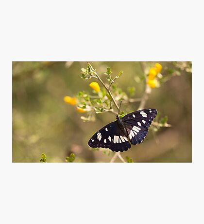 Southern White Admiral butterfly (Limenitis reducta).  Photographic Print