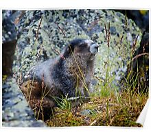Hoary Marmot in the Tombstones Poster