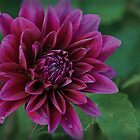 Purple Rain...Dahlia by Poete100