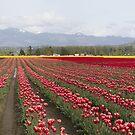 tulip field by ltdRUN