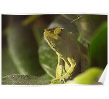 Panther Chameleon (Furcifer pardalis) Poster