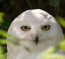 Snowy Owl by M.S. Photography/Art