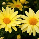 Just Call Them Mellow Yellow ~ Daisies by SummerJade