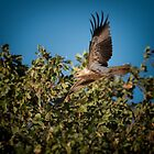 Whistling Kite by Craig Hender