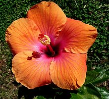 "Hibiscus ""Topsy"" by Margaret  Hyde"