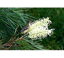 Eastern Spinebill & Grevillea Moonlight Photographic Print