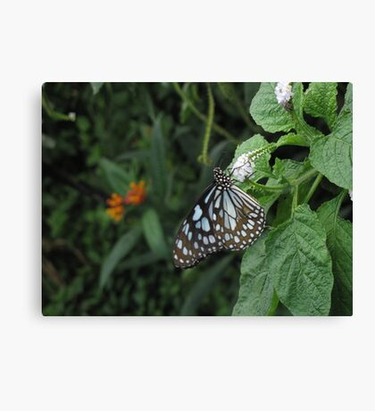 Butterfly on a White Flower Canvas Print