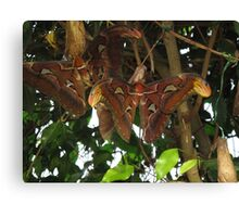 Giant Atlas Moths Canvas Print