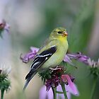 American Goldfinch - female by Linda Crockett