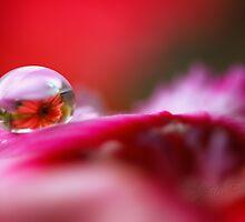 Daisy dew drop by Lyn Evans