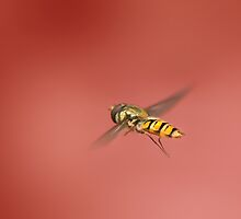 Hover fly by Lyn Evans